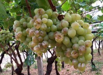 Taranto, agricoltura in ginocchio per il maltempo