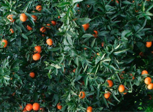 Sulle nostre tavole le arance del Sudafrica