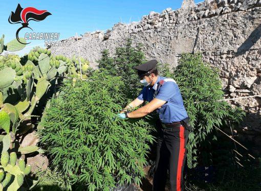 Taranto, due fratelli coltivavano marijuana in masseria