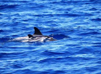 Il Golfo di Taranto culla dei delfini, Jonian Dolphin avvista i cuccioli